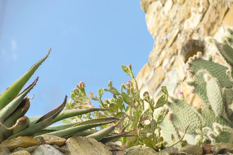 De schoonheid van de cactussen royalty-vrije stock afbeelding