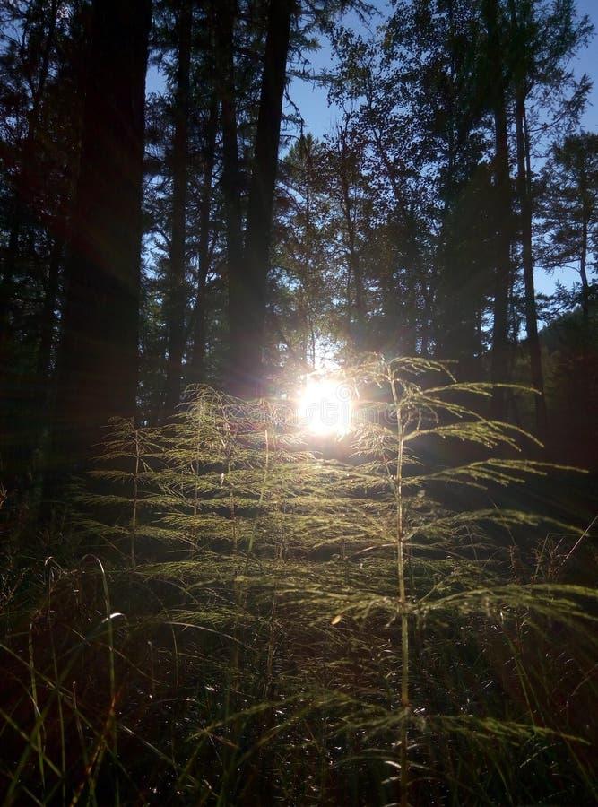 De schoonheid van de bossen van Siberië stock foto