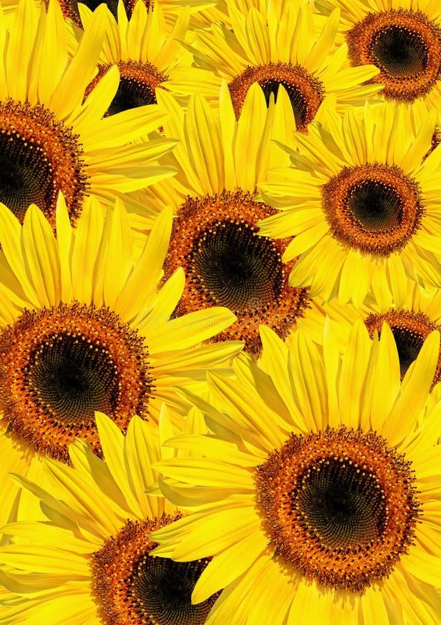 De Schoonheid van de Zomer van de zonnebloem royalty-vrije stock foto's