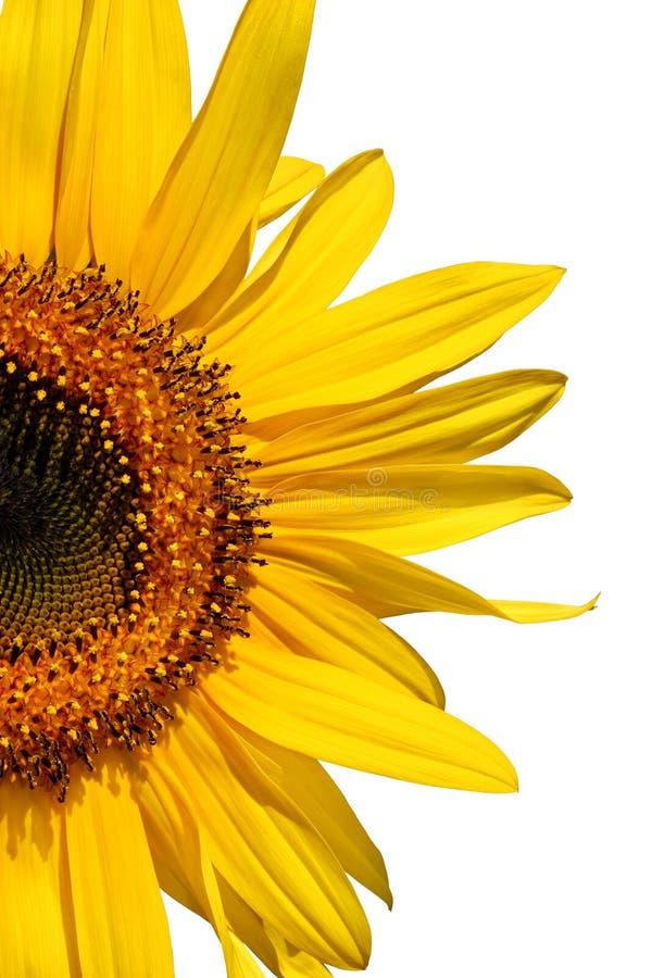 De Schoonheid van de zonnebloem royalty-vrije stock foto's