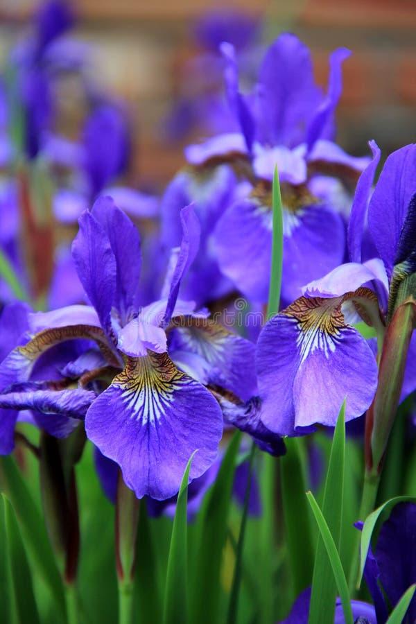 De schoonheid van een Japanse Iris stock afbeelding