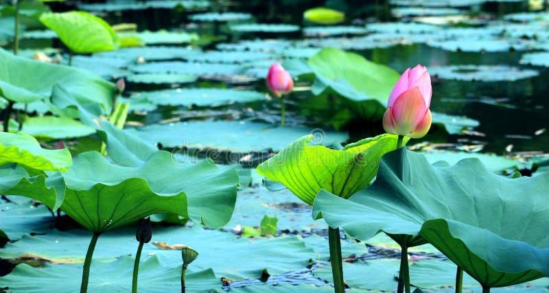 De schoonheid van het landschap in de lotusbloemvijver royalty-vrije stock afbeeldingen
