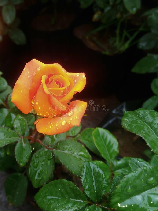 De schoonheid van Indische rozen stock fotografie