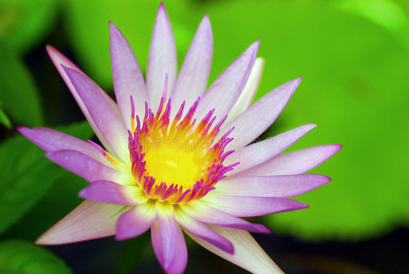 De Schoonheid van Lotus stock foto's