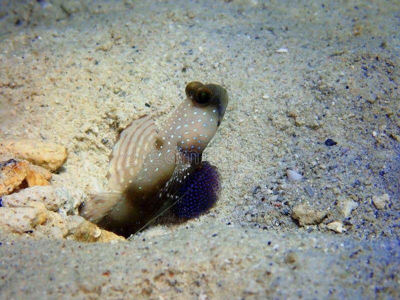 De schoonheid van onderwaterwereld met Gele Garnalengoby in Sabah, Borneo royalty-vrije stock fotografie