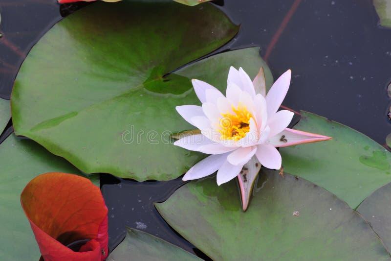 De schoonheid van waterlily~lotus royalty-vrije stock afbeelding