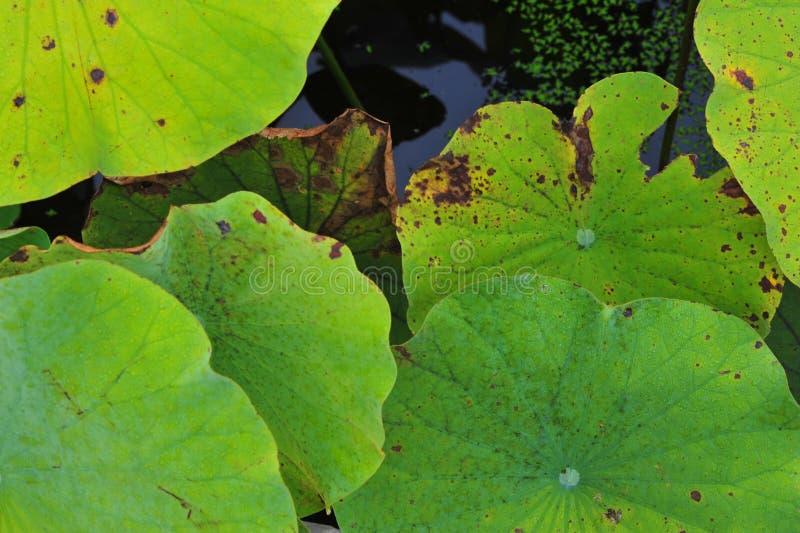De schoonheid van waterlily~lotus royalty-vrije stock fotografie