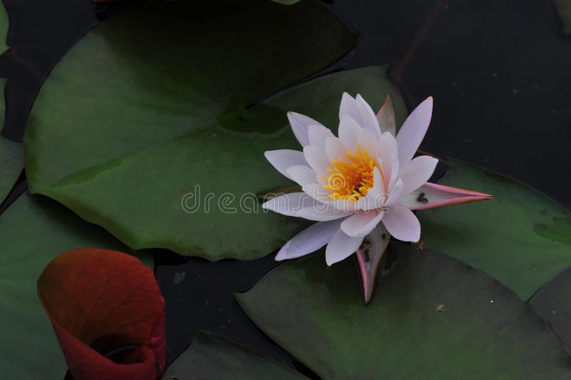 De schoonheid van waterlily~lotus stock fotografie