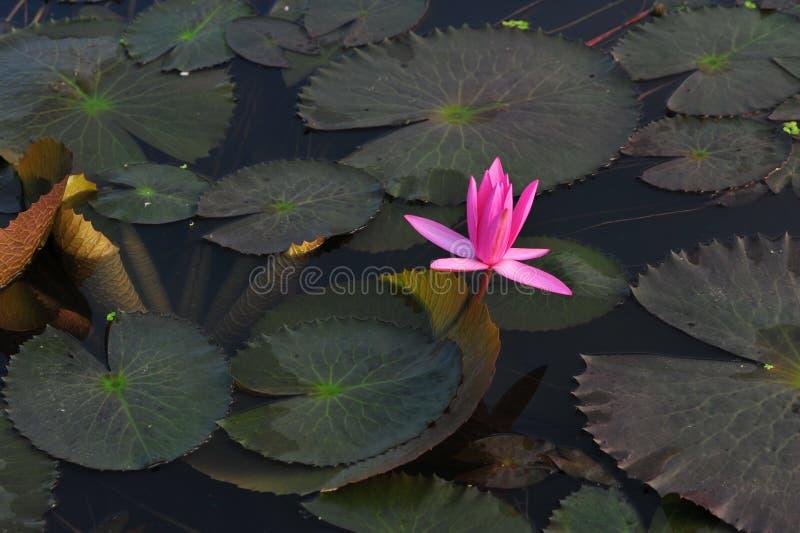 De schoonheid van waterlily~lotus stock foto