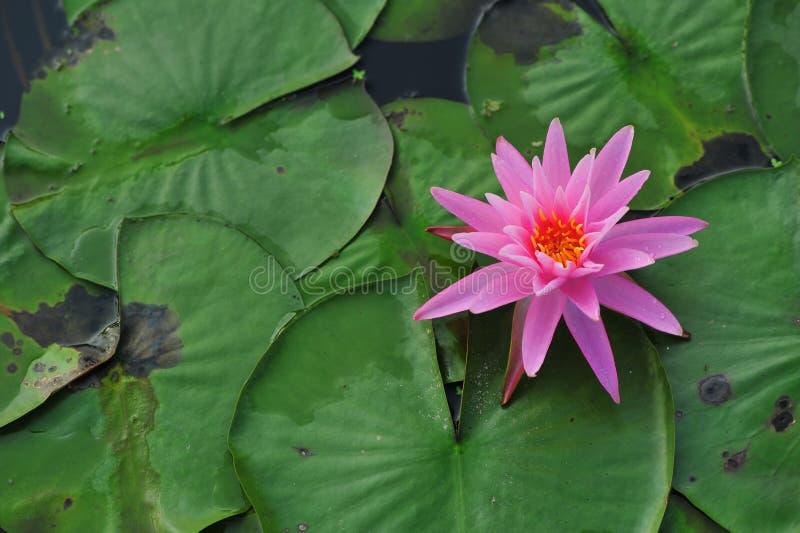 De schoonheid van waterlily~lotus royalty-vrije stock afbeeldingen