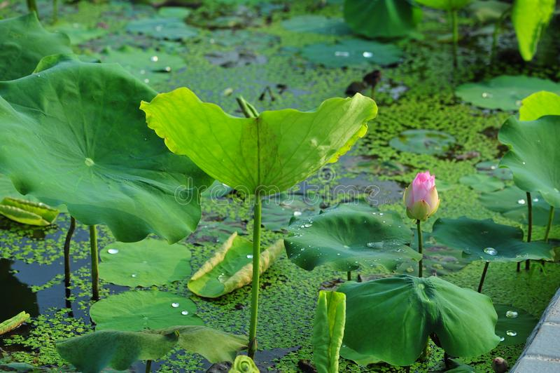 De schoonheid van waterlily~lotus royalty-vrije stock foto