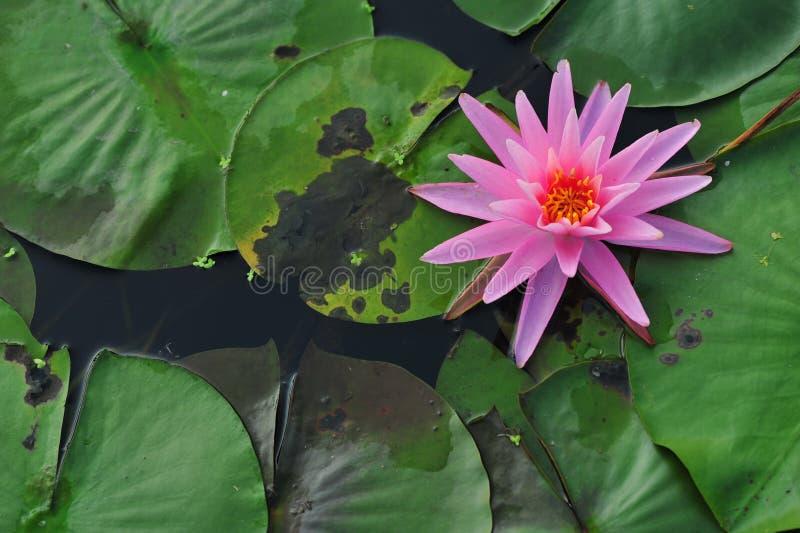 De schoonheid van waterlily~lotus royalty-vrije stock foto's