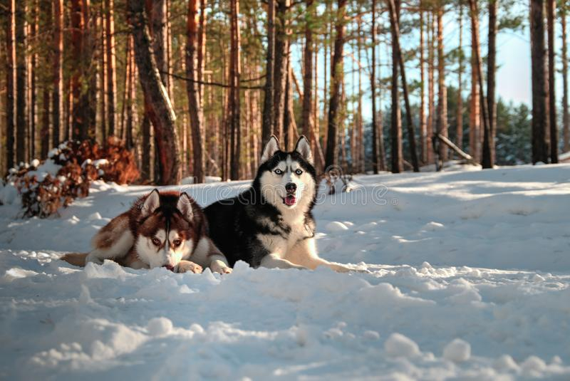 De schor hond ligt op royalty-vrije stock afbeeldingen