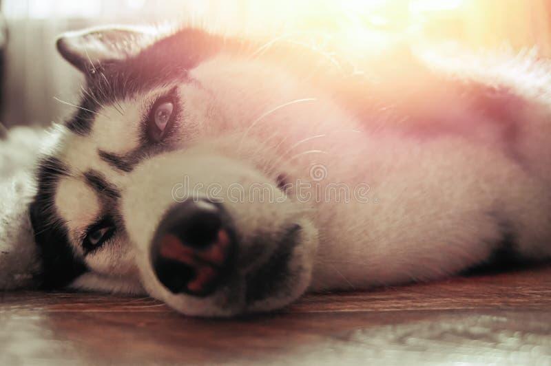 De schor hond vertroetelt onder warme stralenzon Zoete Siberische schor leugens op vloer royalty-vrije stock fotografie
