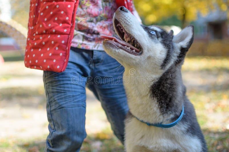 De schor rassenhond is opleiding, glimlachend hondheterochromia royalty-vrije stock afbeeldingen