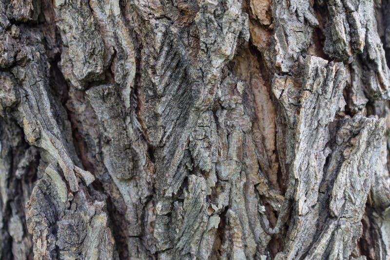 De schors van de iepboom in de groei en barstenclose-up als achtergrond stock foto