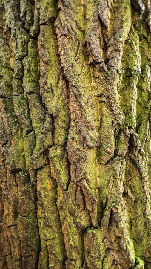 De schors van de oude boom is de achtergrond stock foto