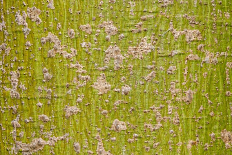 De schorspatroon van de kapokboom stock afbeelding