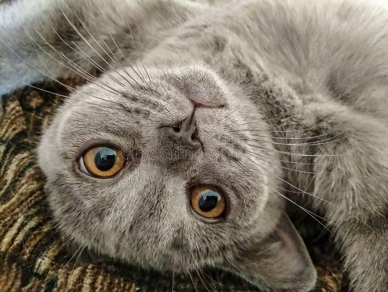 De Schotse blauwe kat ligt op zijn rug stock fotografie