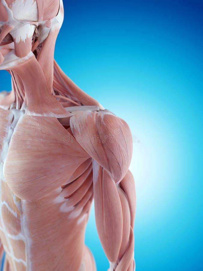 De schouderanatomie stock foto's