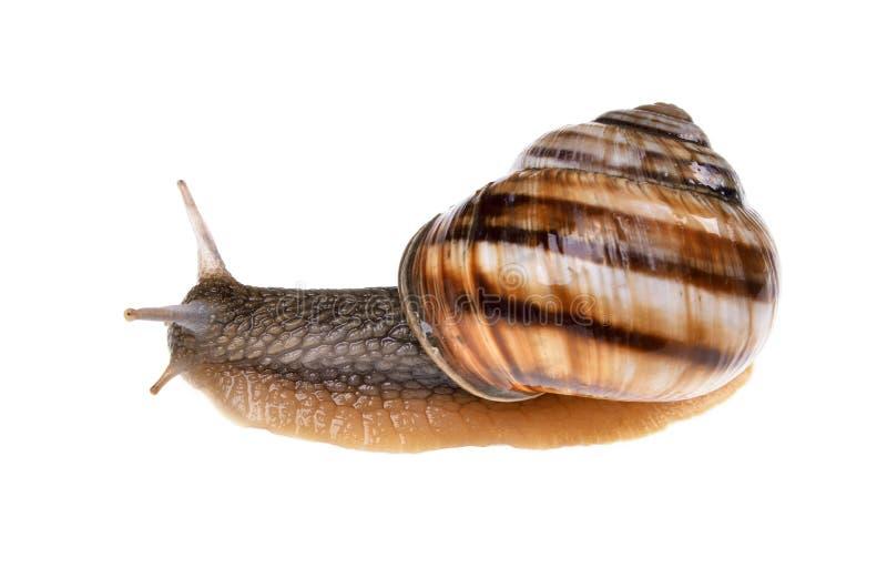 De Schroefaspersa van de tuinslak met bruine shell op geïsoleerd royalty-vrije stock foto's