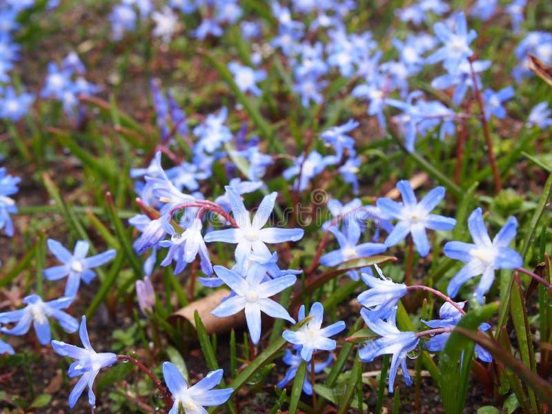 De scilla van Lucile, botanische tuin Berlijn -Berlijn-dahlem royalty-vrije stock foto