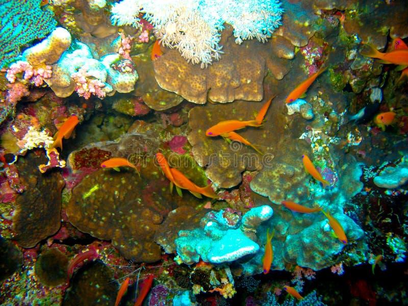 De scuba-duiker is onderwater met een vlak rood koraal De vrouwen draagt in vrij duikenmateriaal: geel masker, regelgever en blau royalty-vrije stock foto