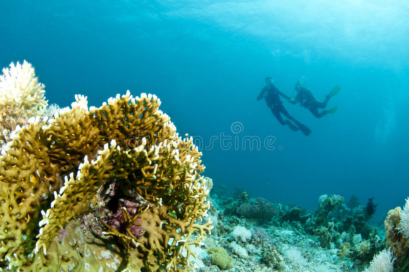 De scuba-duikers zwemt over koraalrif stock afbeeldingen