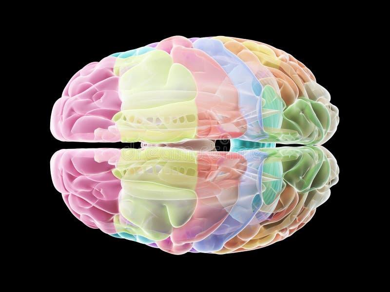 De secties van de menselijke hersenen vector illustratie