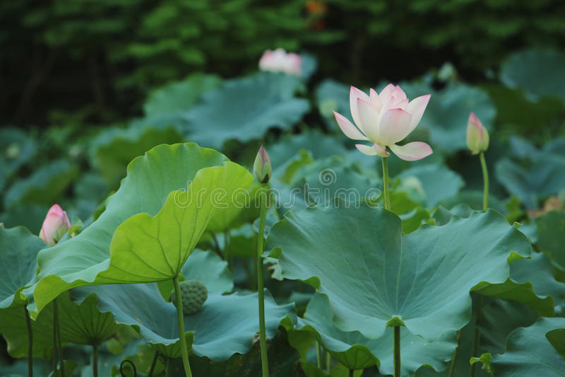 De selectieve bloem van de nadruk roze-Witte lotusbloem in de pool, stock foto