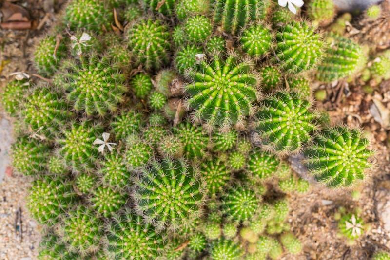 De selectieve die hoogste-mening van het nadrukclose-up op Gouden grusoniicluster van Echinocactus van de vatcactus wordt geschot royalty-vrije stock foto's