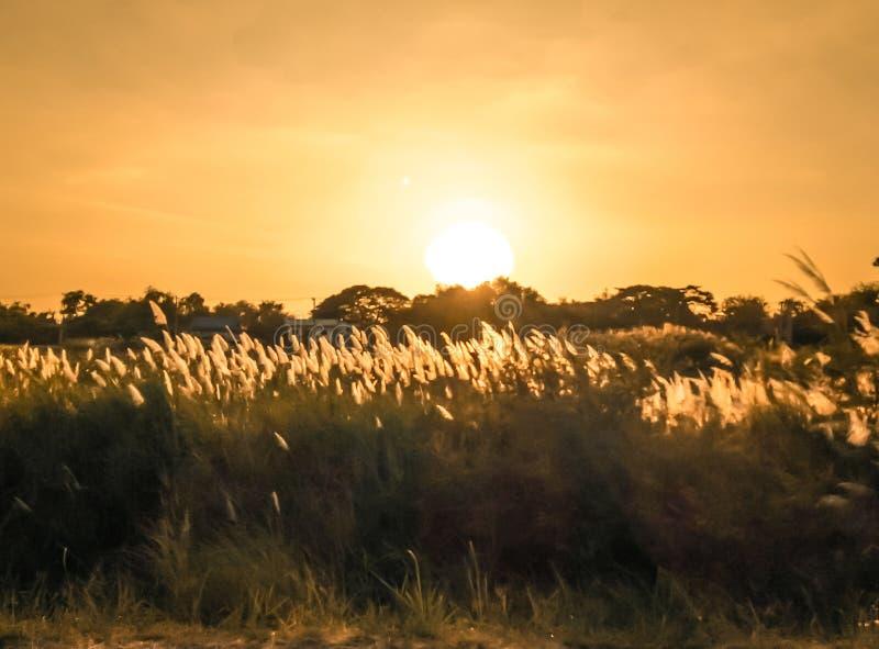 De selectieve zachte nadruk van strand droog gras, riet, besluipt het blazen in de wind bij gouden zonsondergang stock foto's