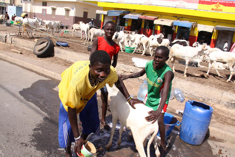 De Senegalese Jongens wassen een Schaap royalty-vrije stock afbeeldingen