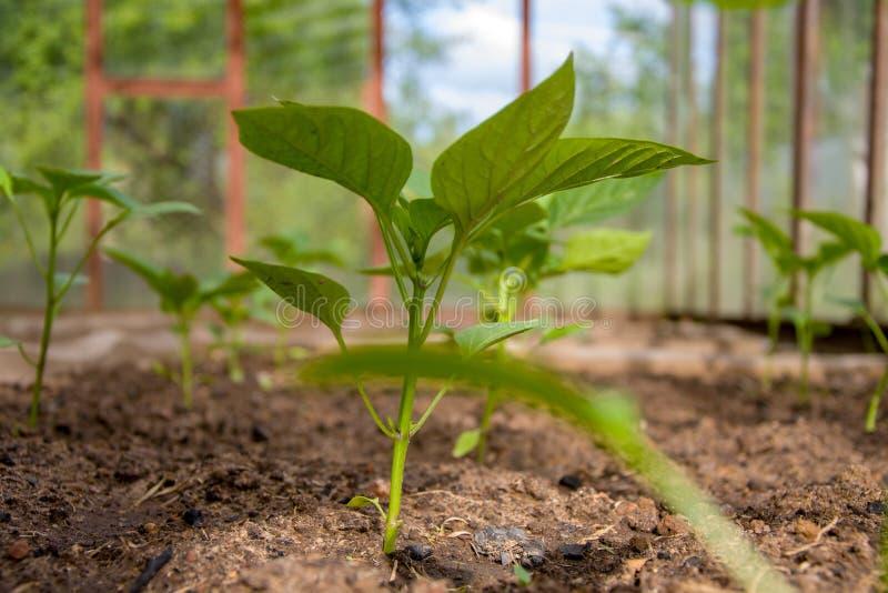 In de serre kweekt de serre zaailingen van peper, een moestuin en het tuinieren royalty-vrije stock fotografie