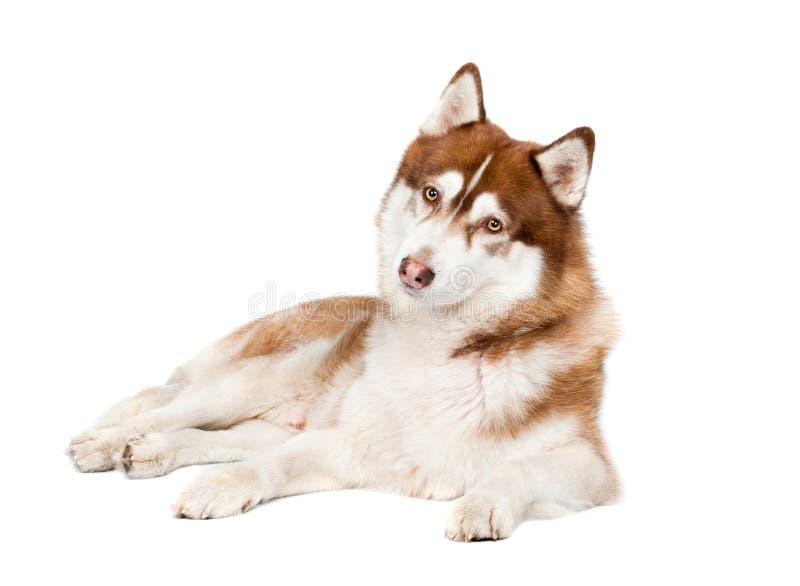 De Siberische schor nieuwsgierige hond ziet eruit royalty-vrije stock afbeelding