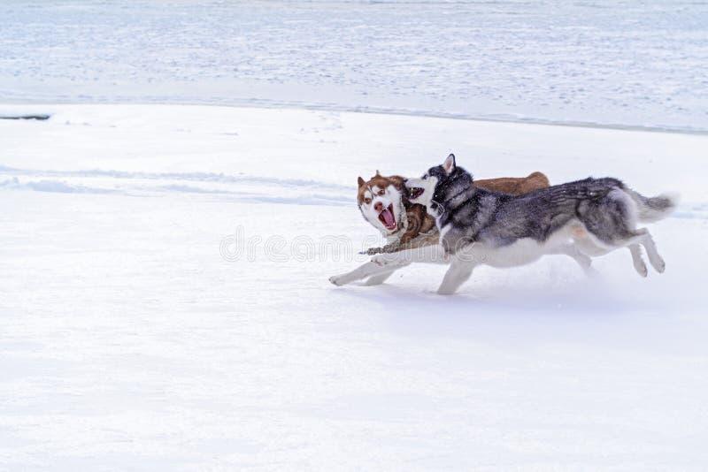 De Siberische Schor winter Gelukkige schor die hond in sneeuw in werking wordt gesteld Mooie Siberische schor Sneeuwhonden Hondsl royalty-vrije stock afbeeldingen