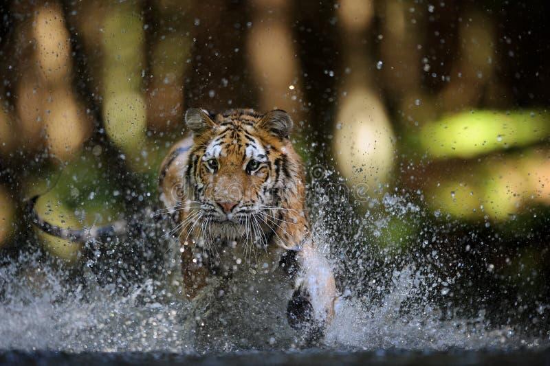 De Siberische tijger jacht in de rivier van close-up vooraanzicht stock fotografie