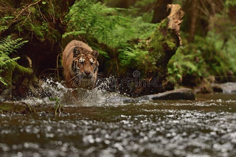 De Siberische tijger van tijgeramur - altaica van Panthera Tigris royalty-vrije stock foto