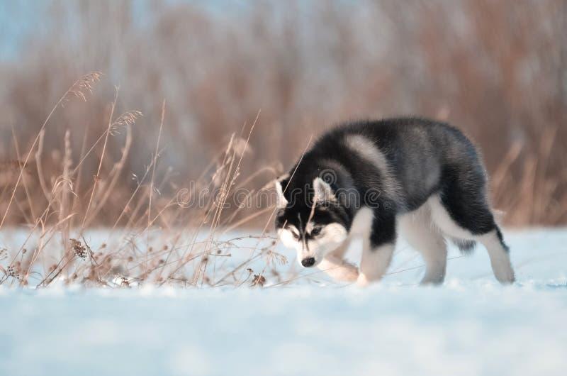 De Siberische zwart-witte sprongen van het schor hondpuppy in de sneeuwweide stock fotografie