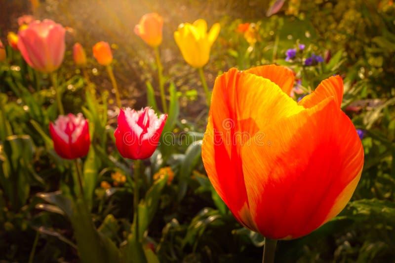 De siertulpen bloeit in een tuin of een achteryard in de recente middag warme zonneschijn die lichte stralen afwerpen royalty-vrije stock afbeeldingen