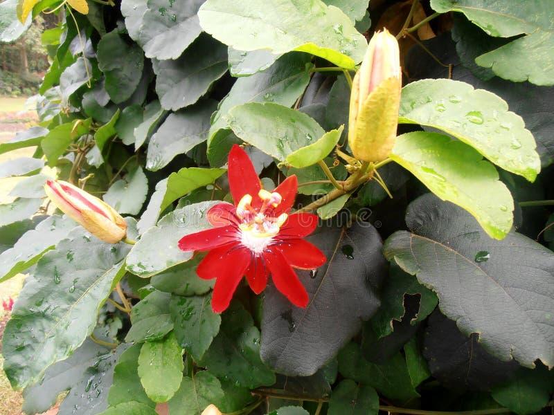 De sierwijnstok Sri Lanka van het pashionfruit stock afbeelding