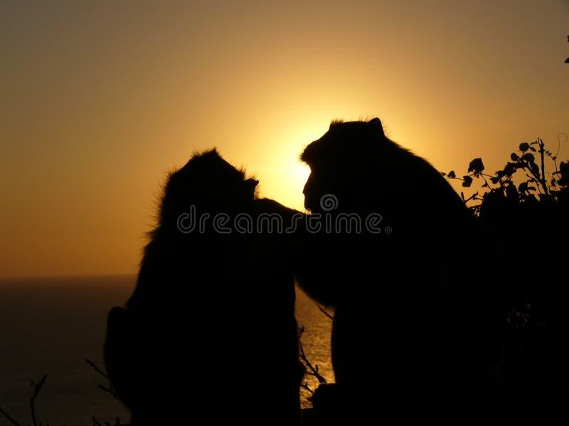 De silhouetten en de zonsondergang van de aap royalty-vrije stock foto