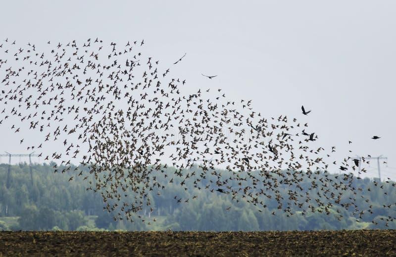 De silhouetten van talrijke trekvogels van zwarte starlings die hun vleugels uitspreiden vliegen snel omhoog van het gebied tegen royalty-vrije stock foto
