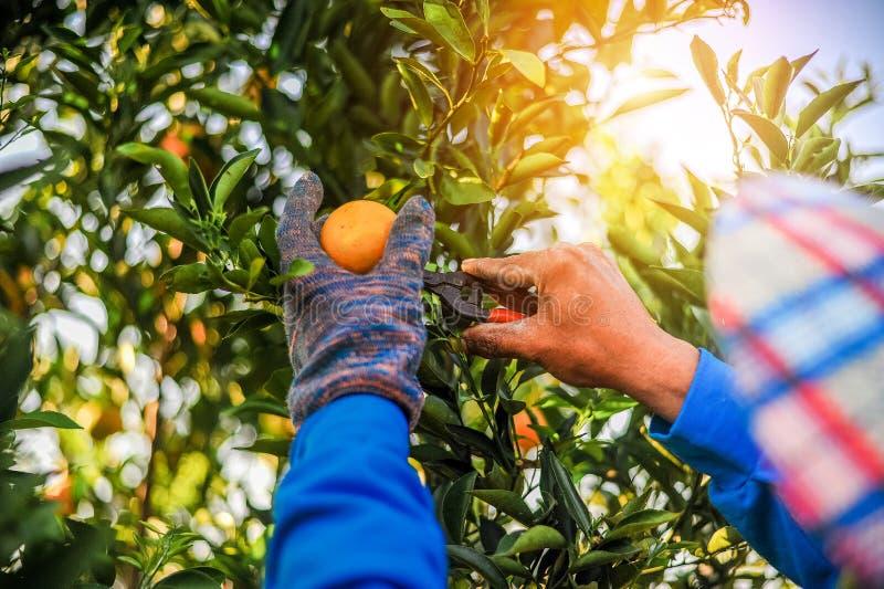 De sinaasappel en de handen van de oranje tuinman worden gemaakt tot elke D royalty-vrije stock fotografie