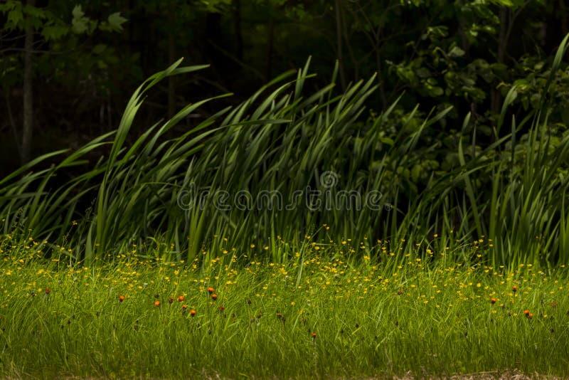 De sinaasappel hawkweed in Noordelijk Wisconsin royalty-vrije stock afbeeldingen