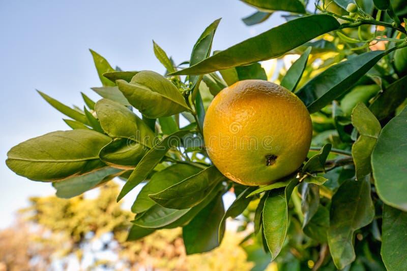 De sinaasappel op een tak van boom, sluit omhoog stock fotografie