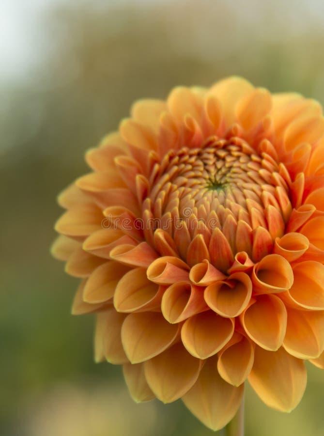 De sinaasappel van de bloemdahlia stock afbeeldingen