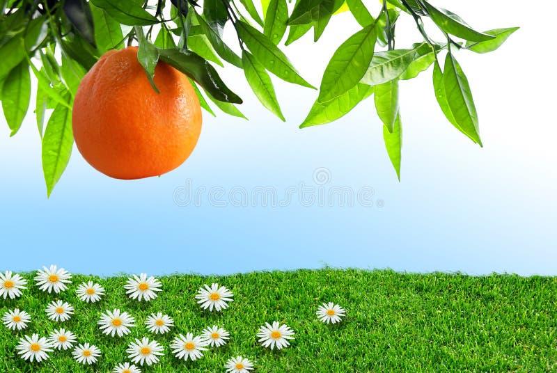 De Sinaasappel van de lente stock fotografie