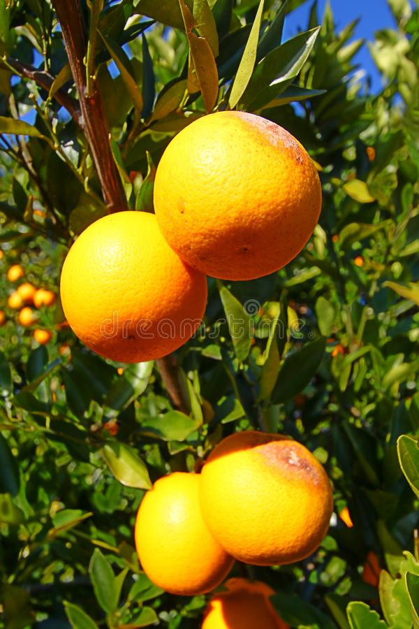 De Sinaasappelenlandschap van Florida stock afbeeldingen
