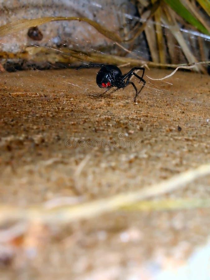 De Singelband van de zwarte weduwe stock foto's